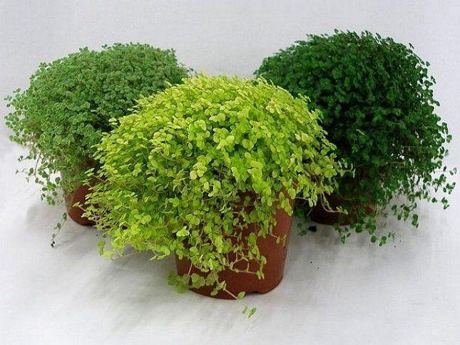 Для яркого цвета листвы солейролию нужно выращивать на светлом месте
