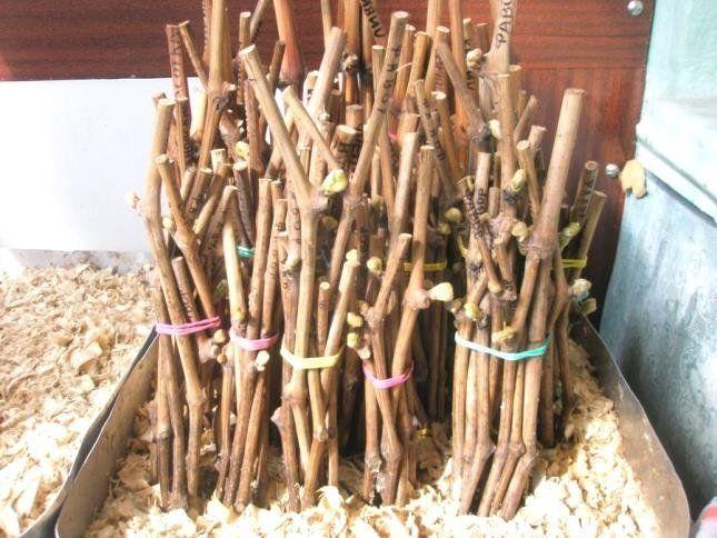 Черенки можно хранить в деревянных ящиках, наполненными опилками