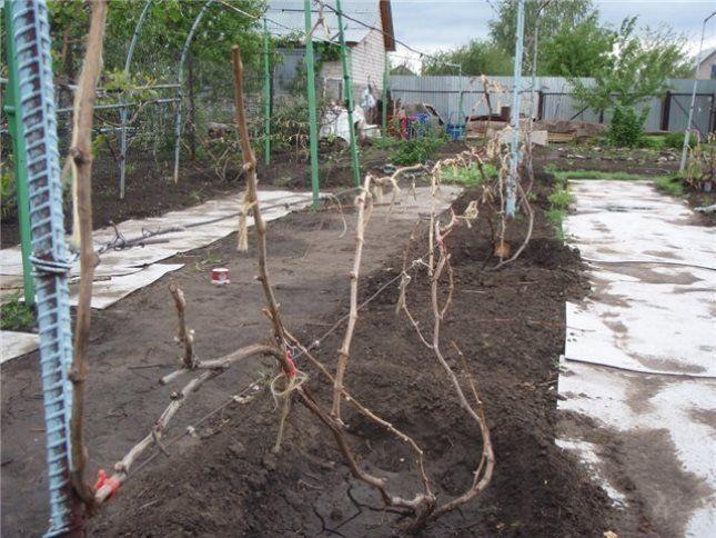 Существует множество способов укрытия винограда на зиму