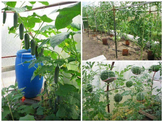 Помидоры, арбузы и огурцы в теплице
