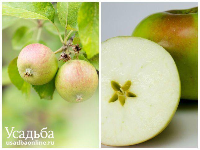 Сорт яблок гордеевское