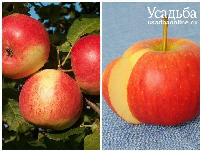 Сорт яблок зарянка