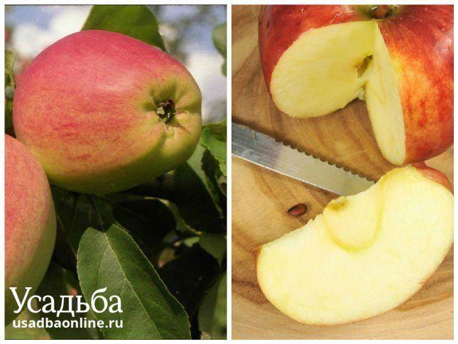 Сорт яблок кандиль орловский