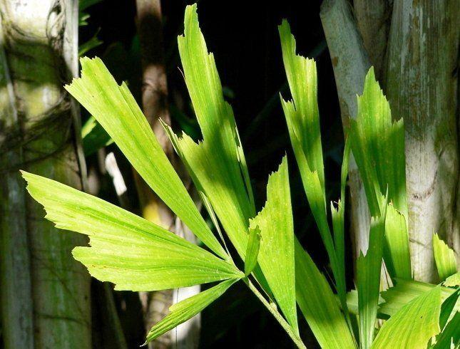 Гофрированные листья кариоты похожи на бумажные