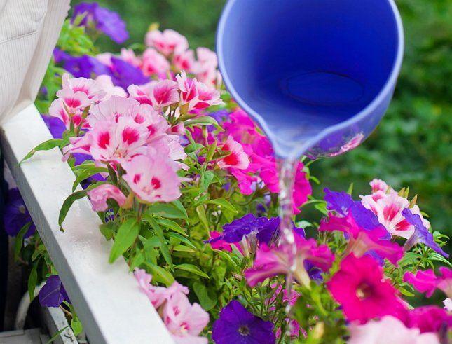 Петуния - универсальное растение для балкона и лоджии