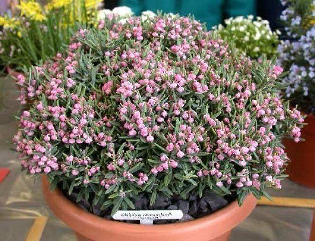 Сочетание цветков и побегов подбела придает растению оригинальный вид