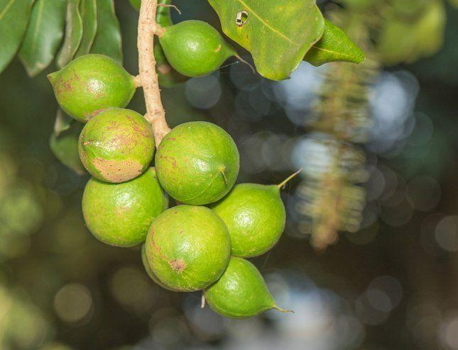 Макадамия довольно легко размножается семенами