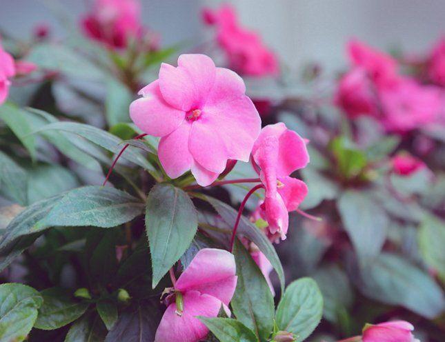 Бальзамин ценится за обильное и продолжительное цветение