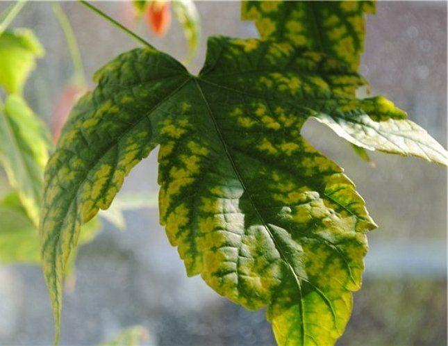 Пожелтение листвы может свидетельствовать о хлорозе