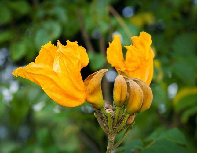 Спатодею вполне можно вырастить самостоятельно из семян