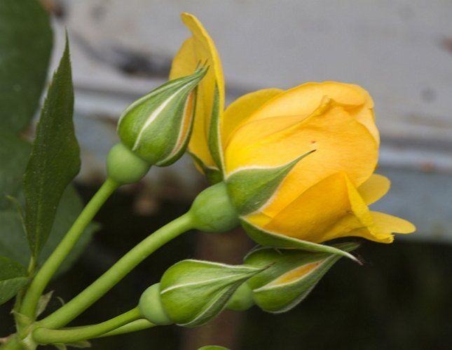 Розы в летнее время требуют качественного полива
