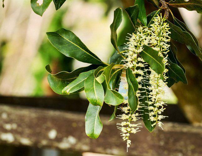 Во время цветения макадамия источает очень приятный аромат