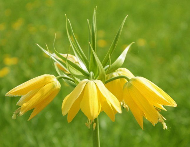 Цветки рябчика императорского напоминают короны
