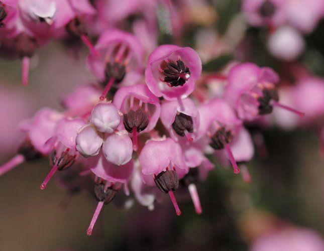 Нежные цветочки эрики списываются абсолютно в любой интерьер