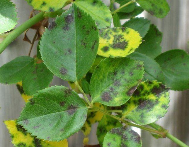 Черная пятнистость – самое распространенное заболевание роз