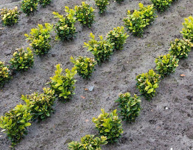 Высаживая самшит, соблюдайте расстояние между растениями и рядами