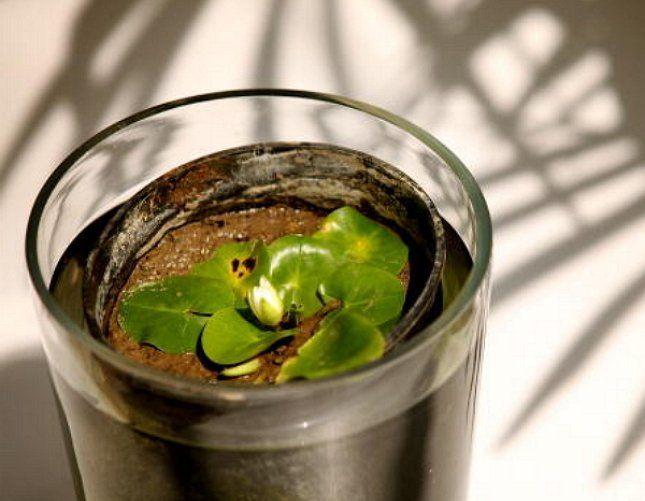 Нимфеи несложно вырастить самостоятельно из семян