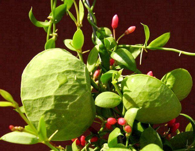 Надутые листья дисхидии придают растению действительно экзотический вид