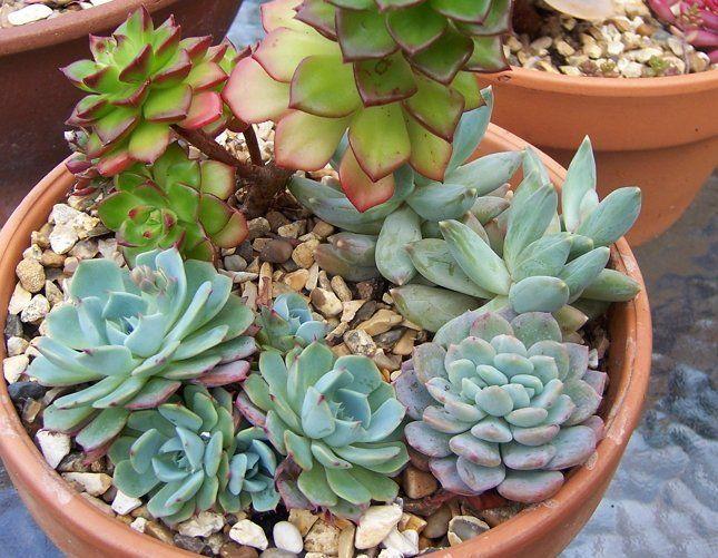 Пахифитум - отличное растение для садика из суккулентов