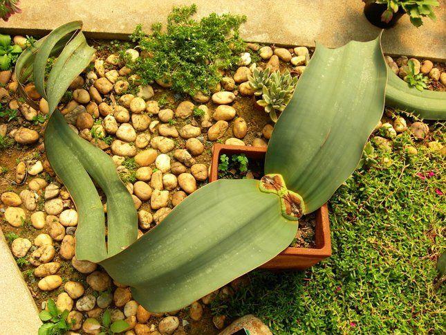 Вельвичию вполне можно выращивать в доме, но следует учитывать ее биологические особенности
