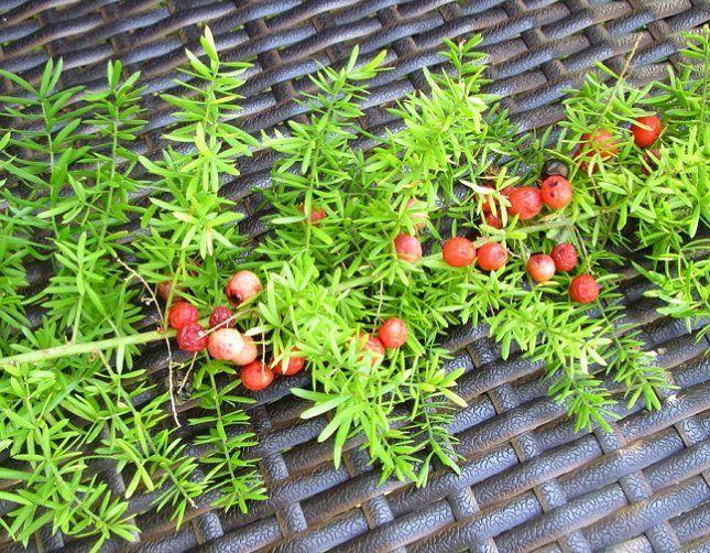Ягоды аспарагуса выгодно украшают растение и дают семена для его размножения