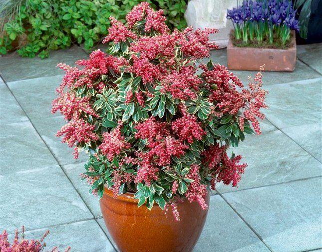 Пиерис японский подойдет тем цветоводам, которые любят яркие и необычные цветы в доме