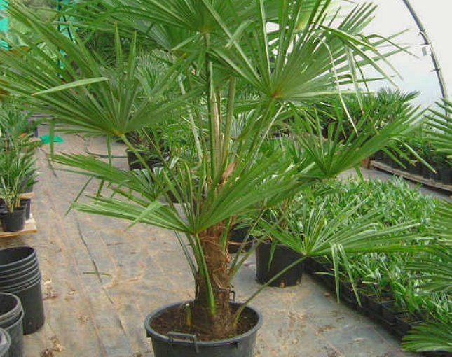 Трахикарпус любит влажный воздух, но может выдерживать недлительные засушливые периоды