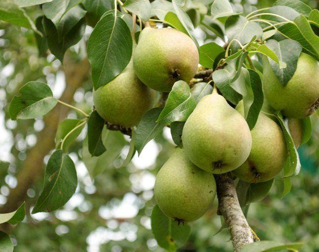 Плоды зимних сортов достигают зрелости в октябре