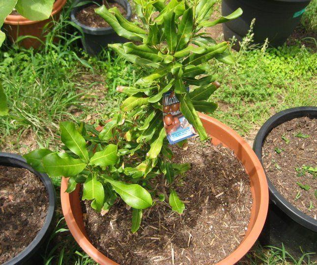В домашних условиях макадамия может вырасти до 3 м в высоту