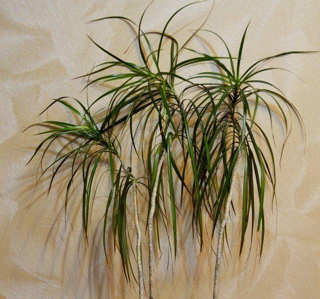 Искривленные верхушки на тонких стволиках портят все впечатление от растения