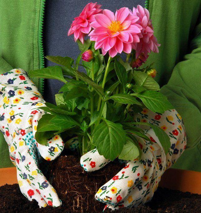 Во время цветения растения можно пересаживать только в крайних случаях