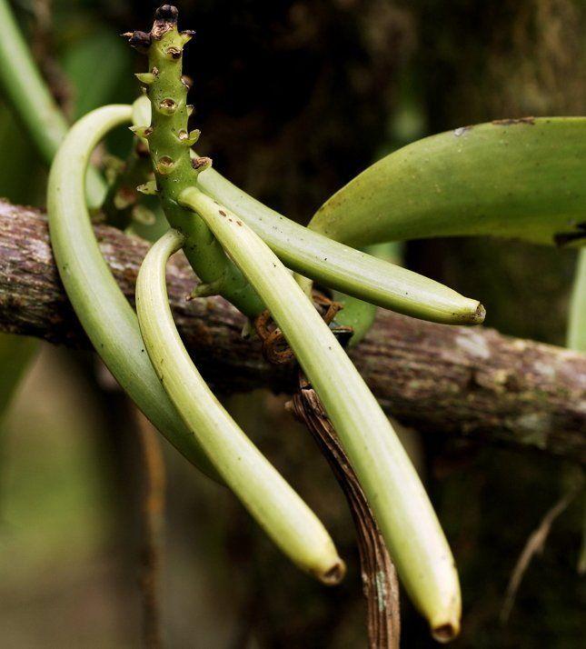 Стручки ванили приобретают аромат только после специальной термической обработки