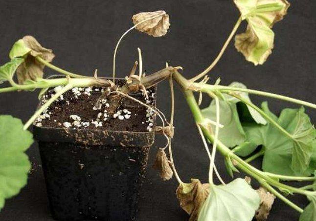 Появляясь у корневой шейки, пятна гнили постепенн распространяются на все растение