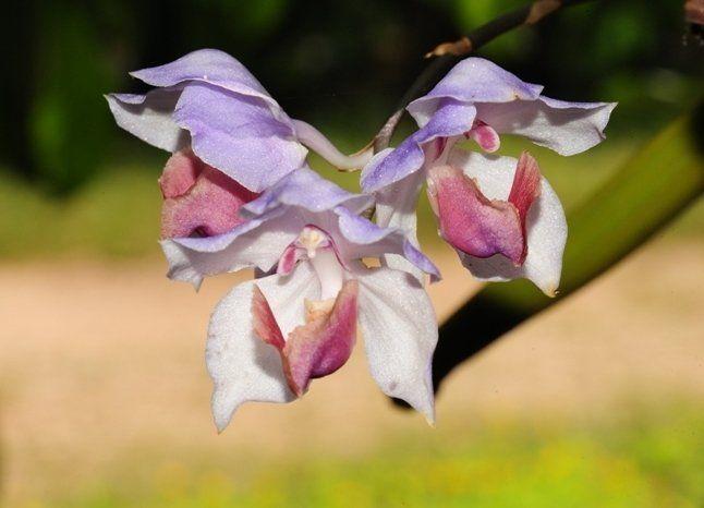 Цветки аганизии не имеют запаха, но это компенсируется их внешним видом