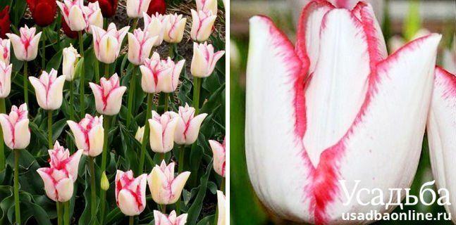 Тюльпан Beauty trend