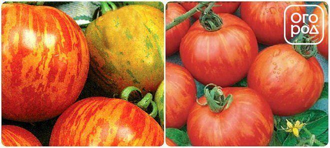 томаты, помидоры сорт Рябчик