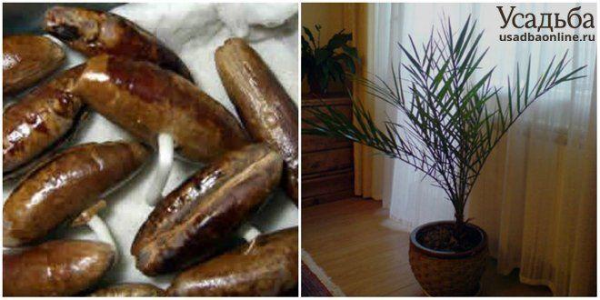 Плоды финика и финиковая пальма