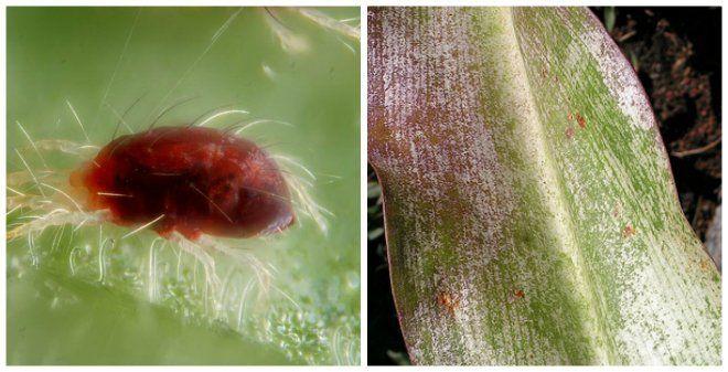 Чем опрыскивать лилии от вредителей