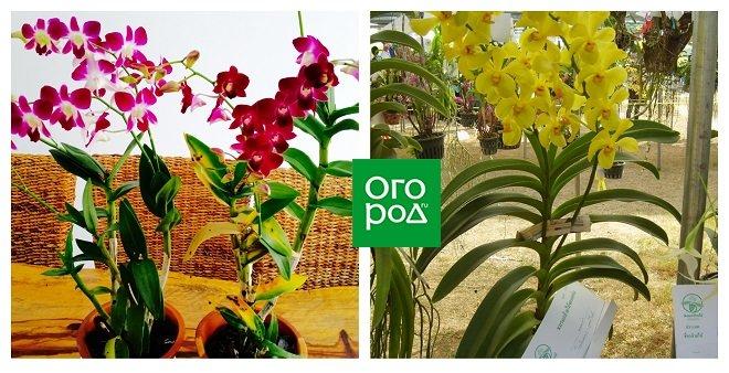 Орхидеи моноподиального и симподиального типа