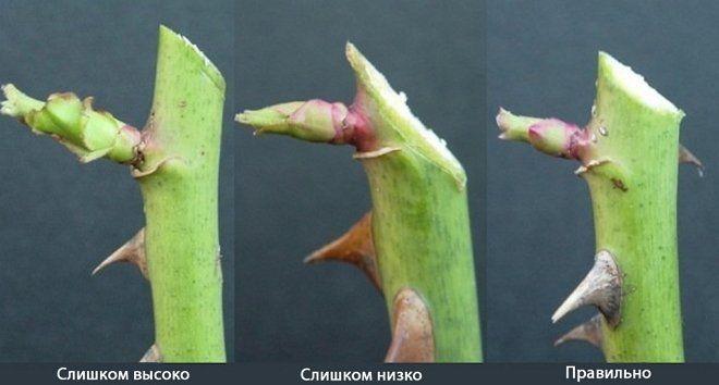 Схема, как делать срезы при обрезке роз