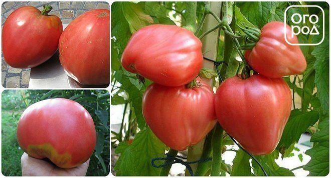томаты, помидоры сорт Розовый мед