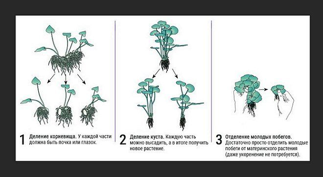 деление водных растений фото
