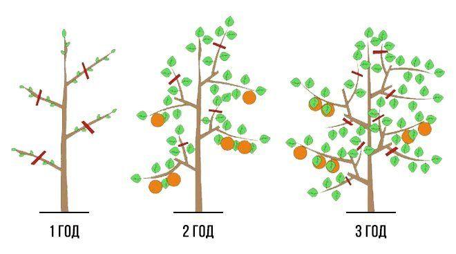 как подстригать яблоню осенью
