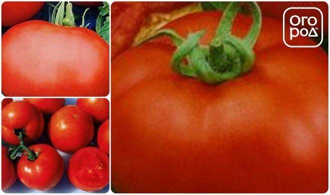 томаты помидоры сорт Загадка