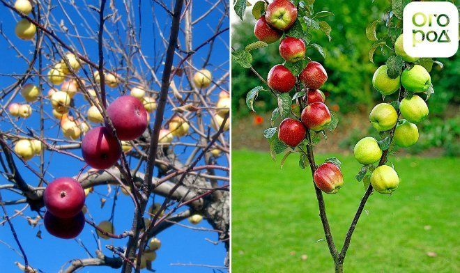 Два сорта яблони на одном дереве