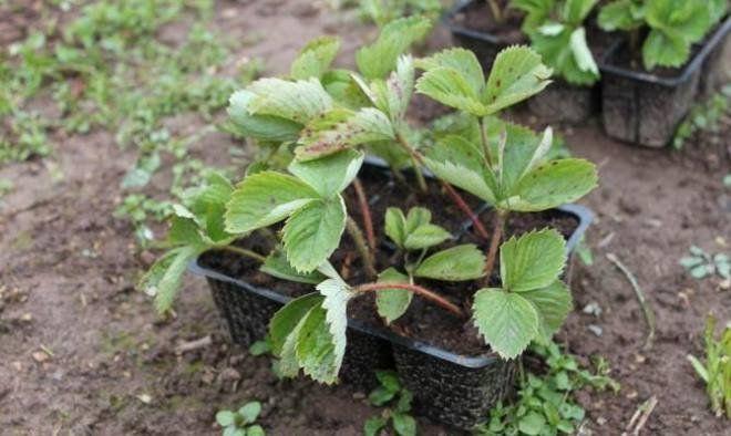Подготовка почвы для посадки клубники в августе