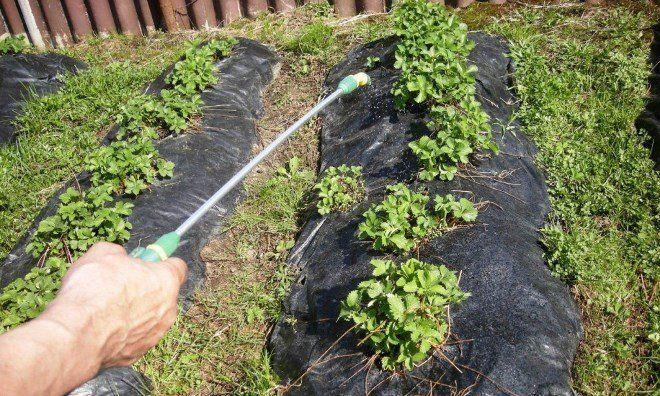 Подкормка клубники после обрезки листьев
