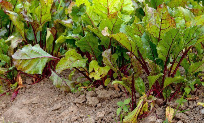 : Выращивание свеклы в огороде