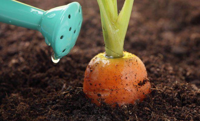 : полив моркови
