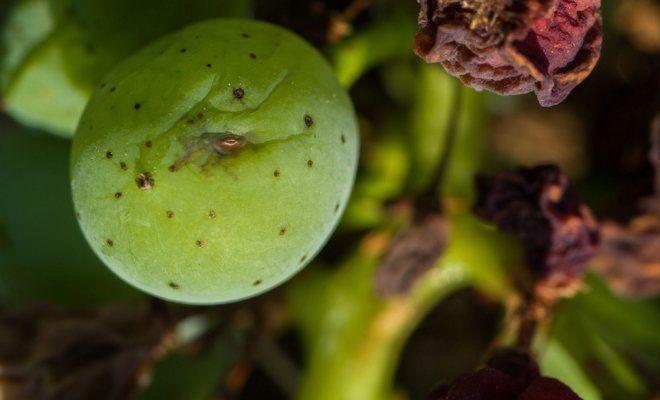 : болезни винограда